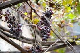 grapes-5905