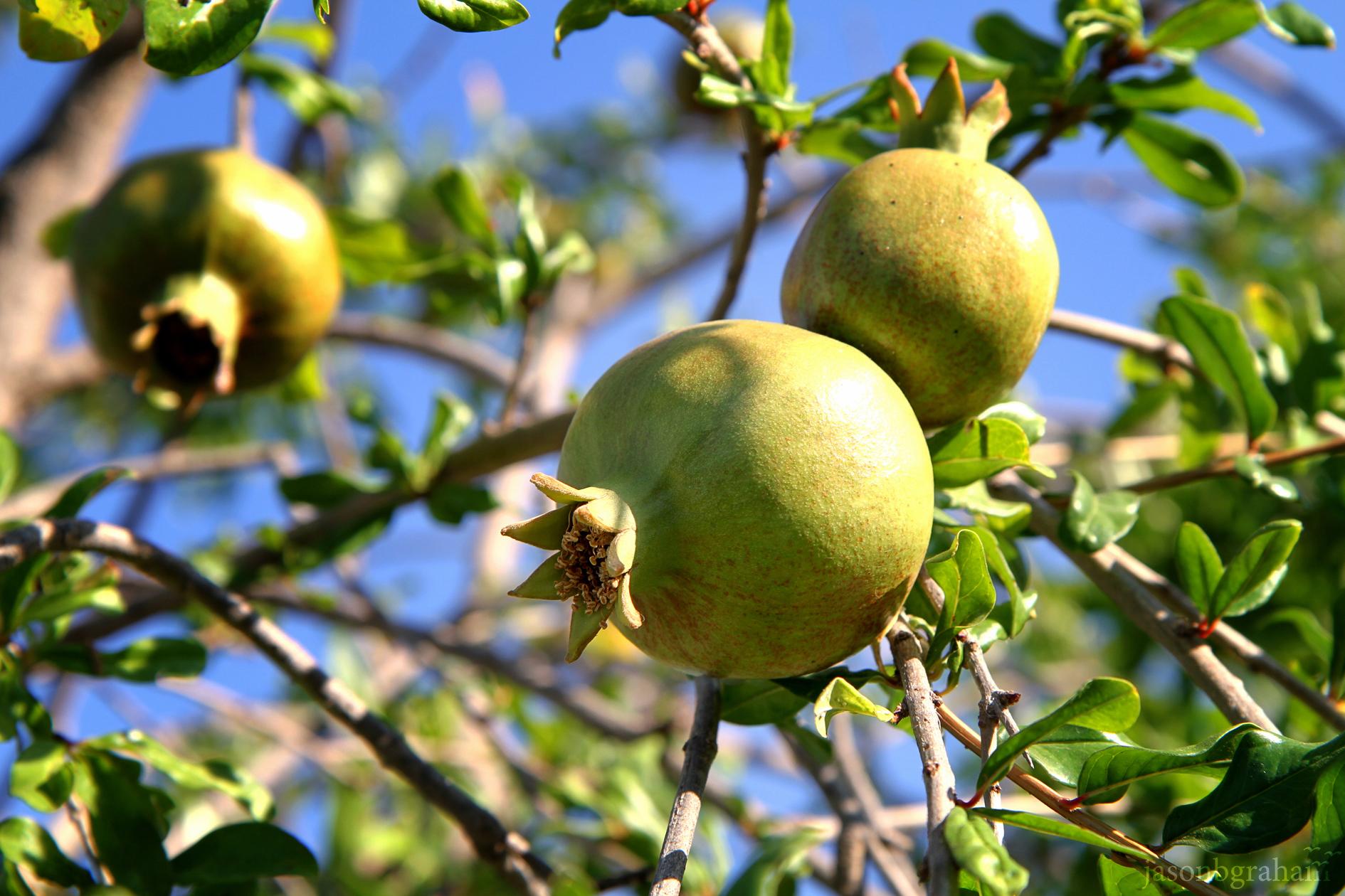pomegranate-0881
