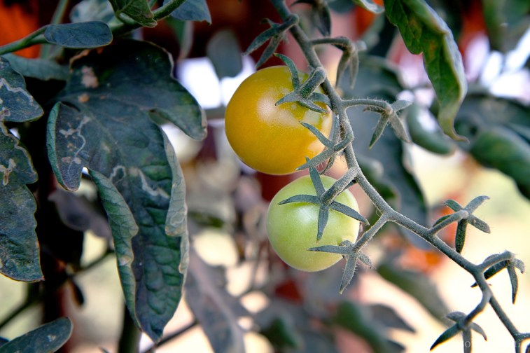 tomatoes-2289