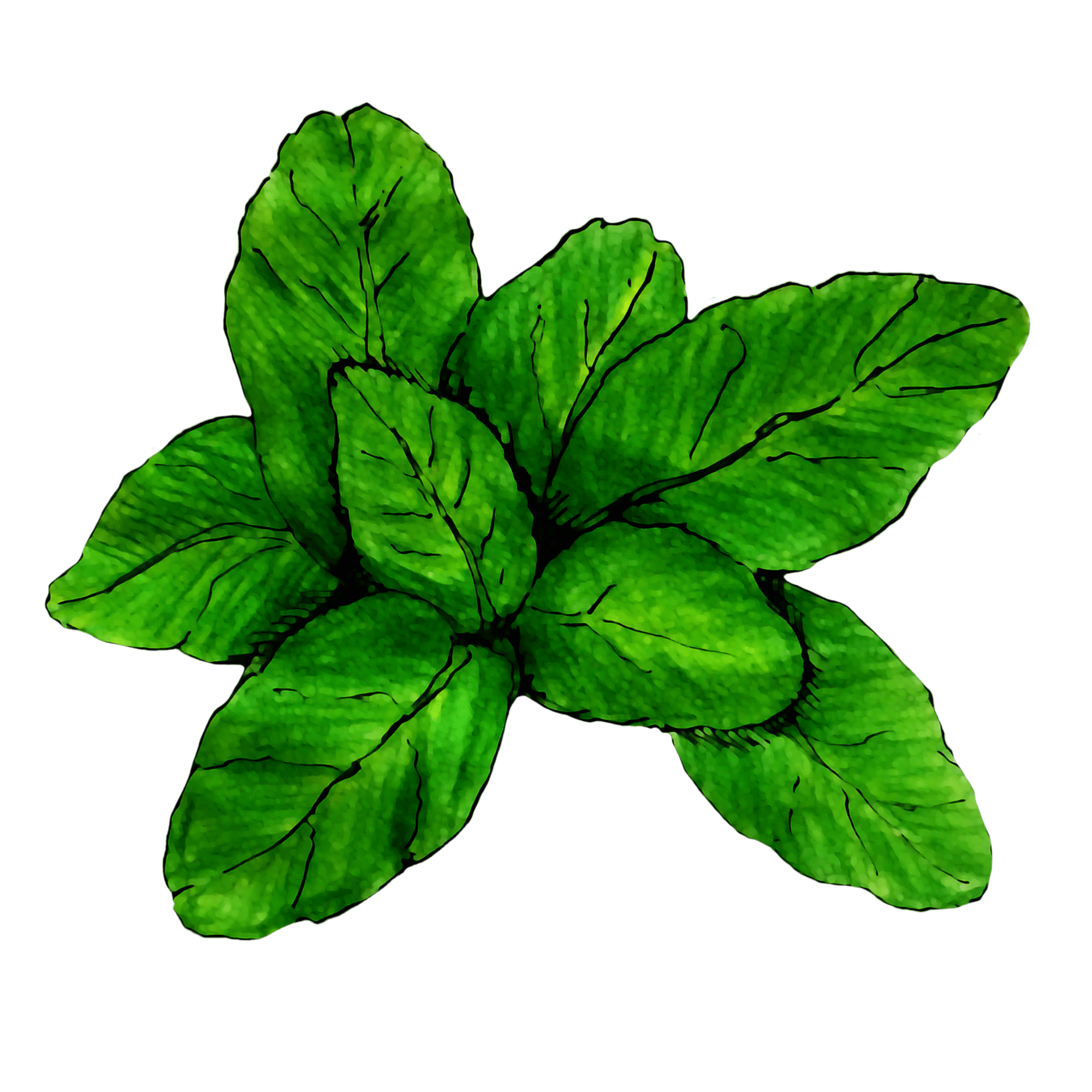 attribute-motif-basil-white