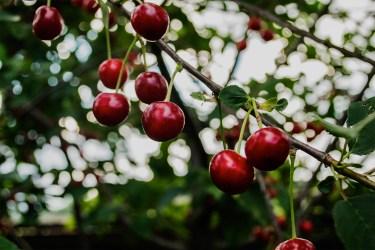 jason-b-graham-cherries-kiraz-0003