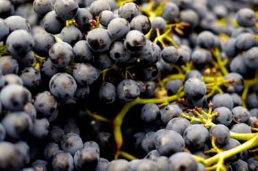 jason-b-graham-grapes-uzum-0001