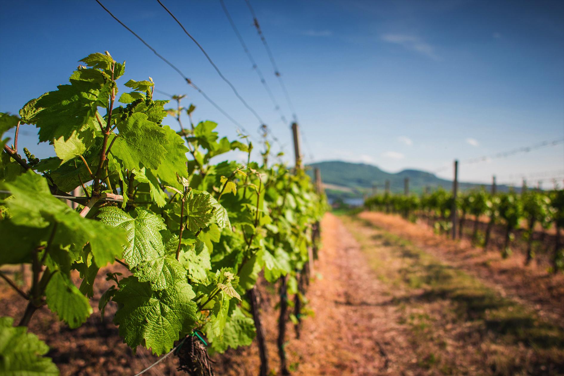 jason-b-graham-grapes-uzum-0013