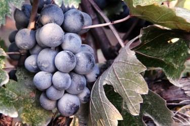 jason-b-graham-grapes-uzum-0016