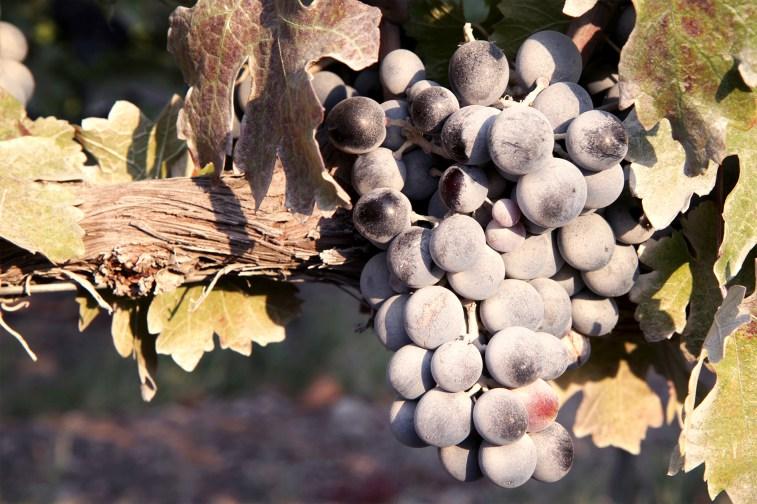 jason-b-graham-grapes-uzum-0018