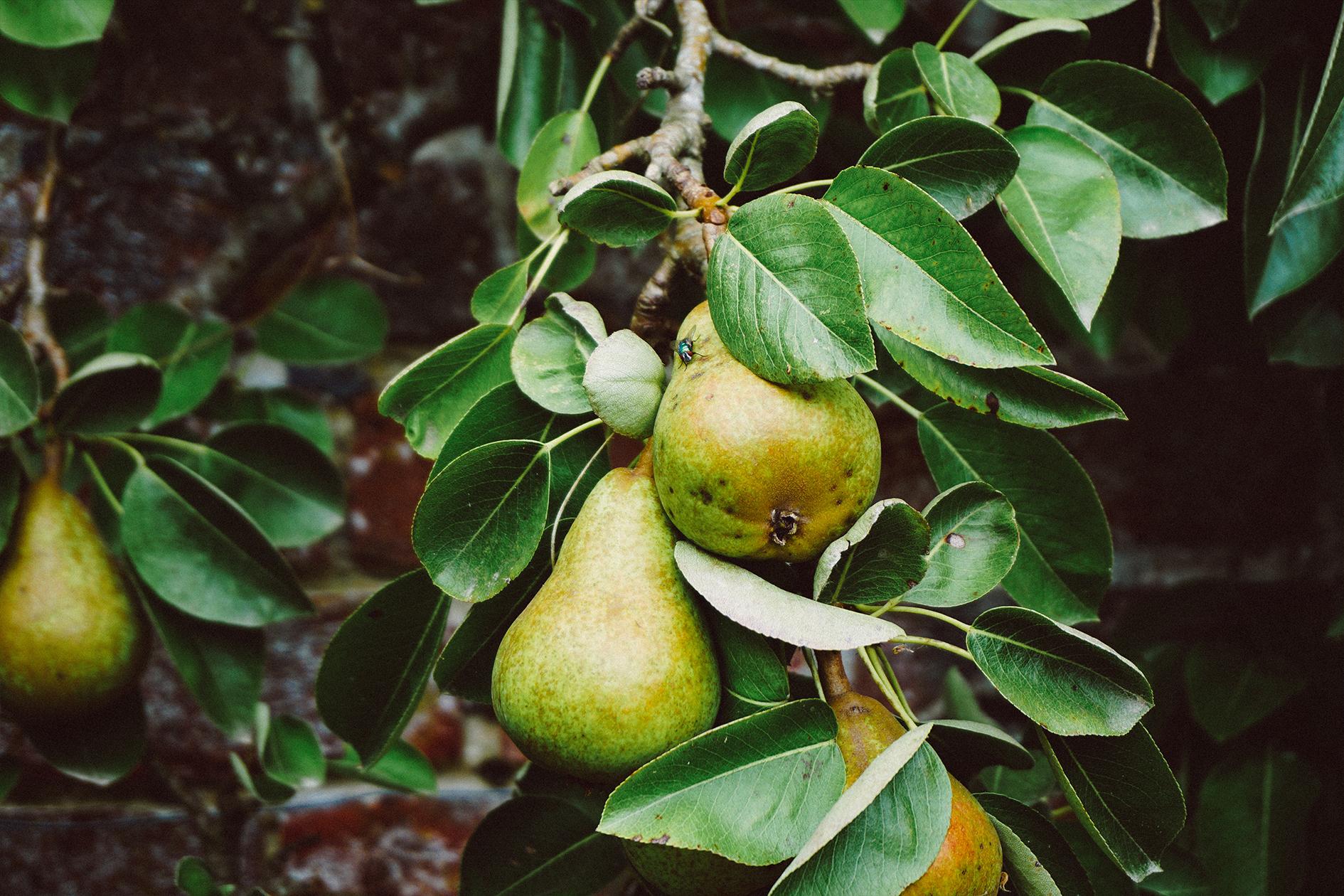 jason-b-graham-pear-armut-0003