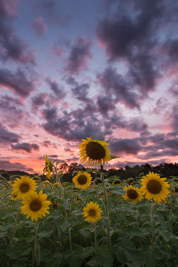 Sussex County Sunflower Maze at sunset