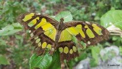 21. Cascada San Ramon - Butterfly near waterfall