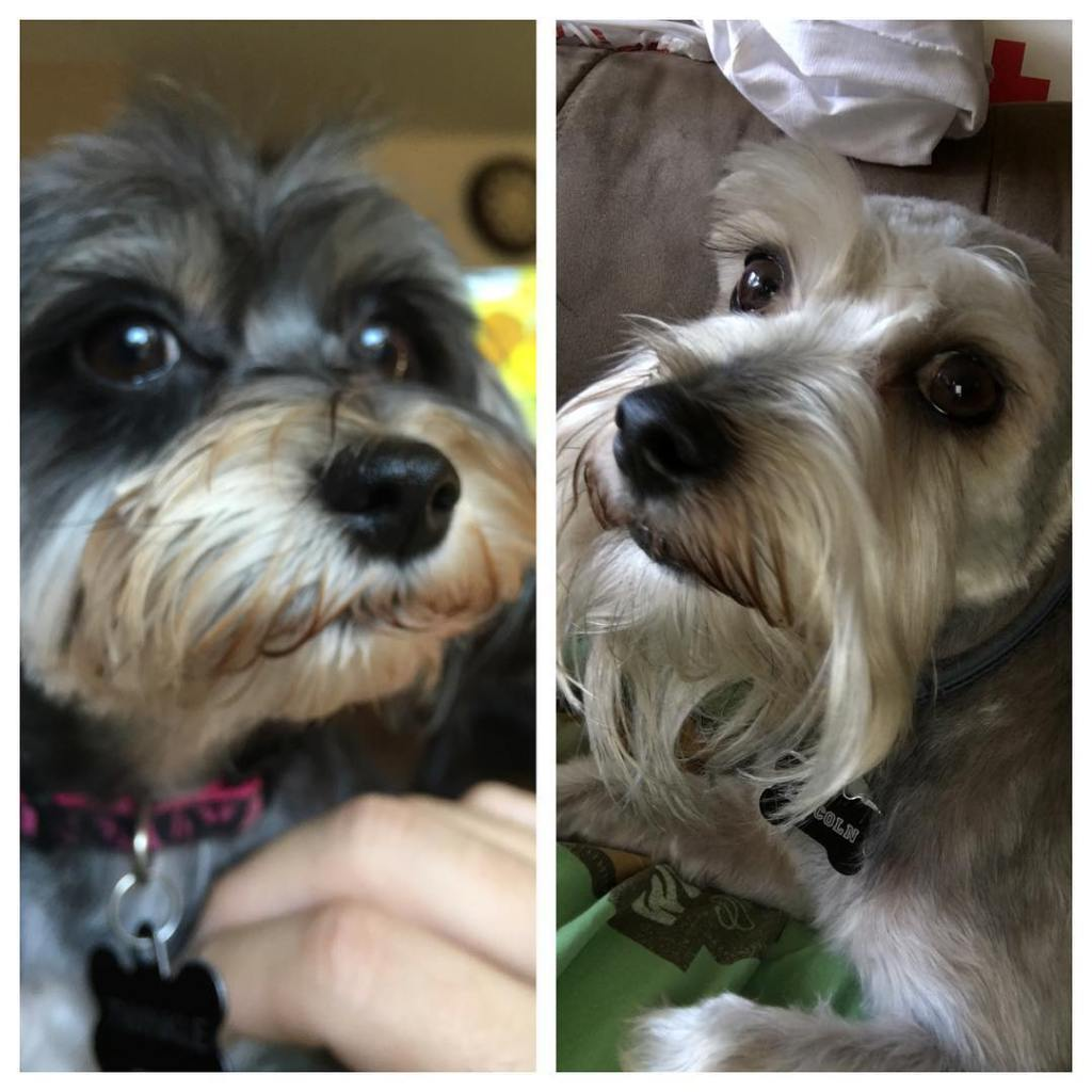 The dogs got their hair cut today 2