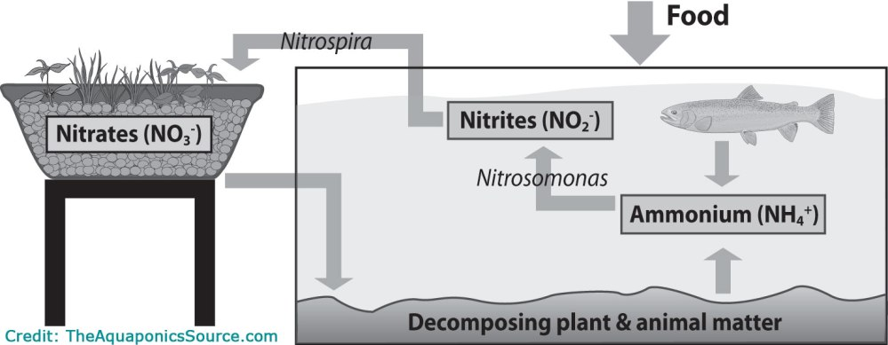 medium resolution of in my research it seems that the most important part of any aquaponics system is the bacteria that converts the fish waste into beneficial nutrients