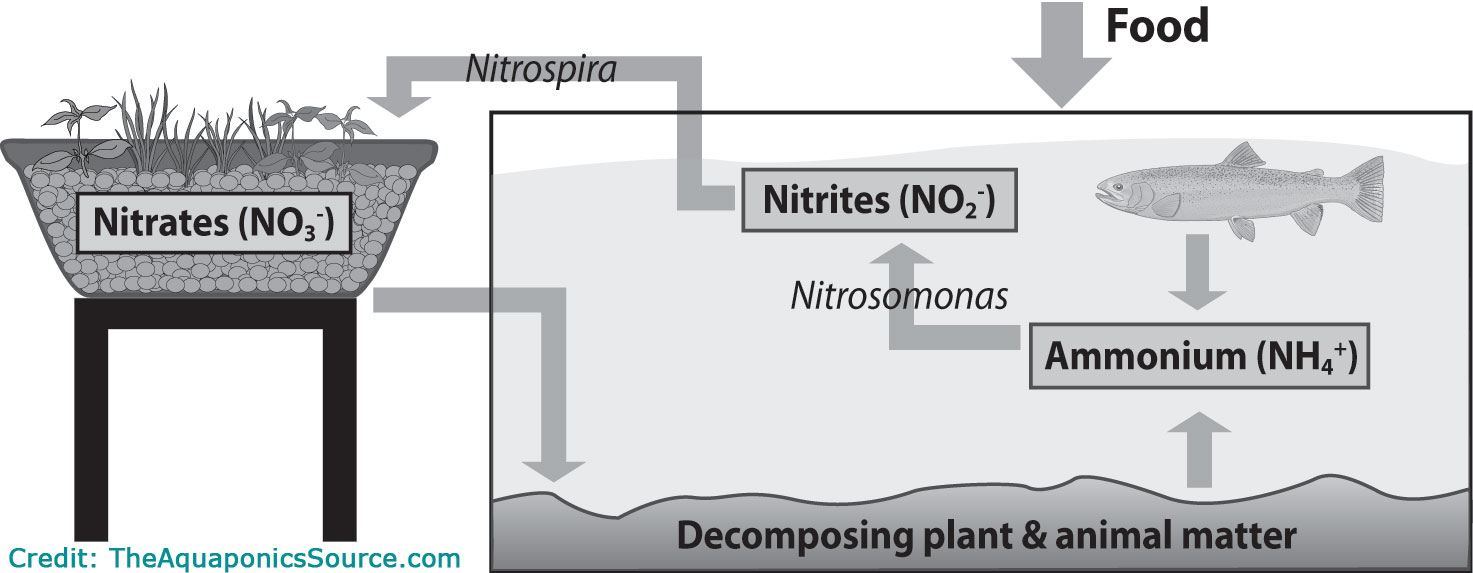 hight resolution of in my research it seems that the most important part of any aquaponics system is the bacteria that converts the fish waste into beneficial nutrients