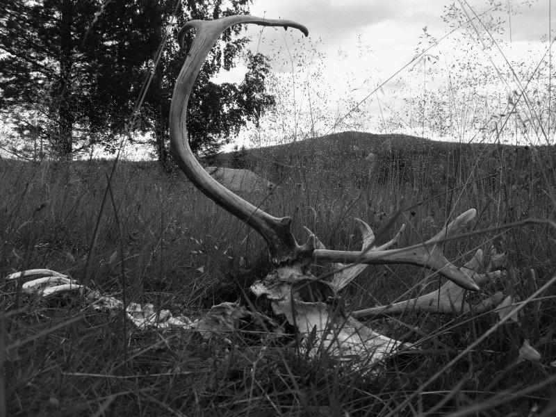 Renhuvud med horn och berg i bakgrunden