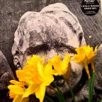 Daffodil Rising