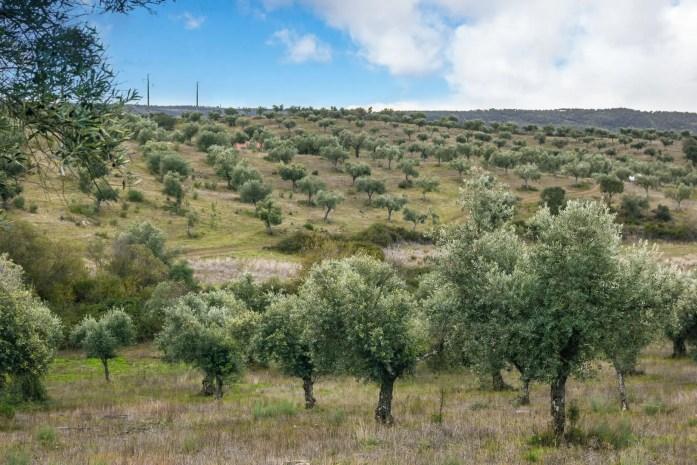 Olive Grove Idanha-a-Velha