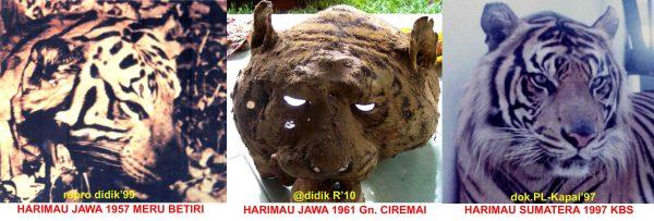 95 Gambar Wajah Harimau Sumatera Paling Bagus