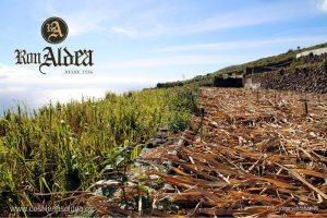 Plantación Caña de Azúcar · Proceso de Elaboración Ron Aldea · La Palma · Islas Canarias