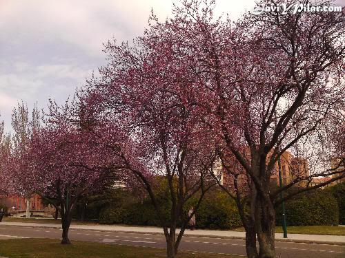 Sakuras floreciendo en el trabajo