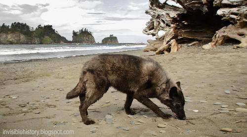 Lobo en la playa de La Push, en la reserva Quileute