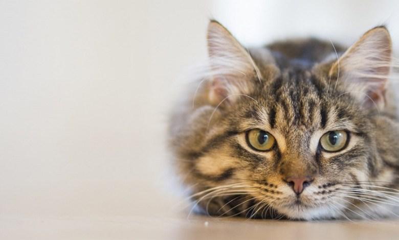 مسنة أسترالية توفيت على يد قطة كانت تربيها بمنزلها و السبب مفزع
