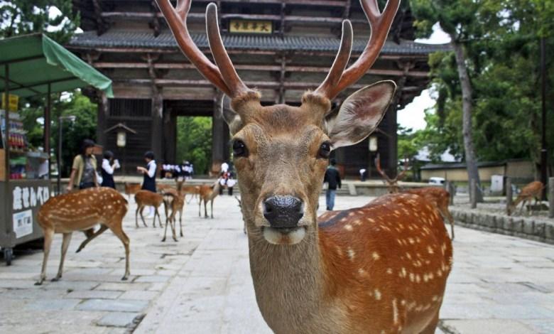 تعرف على «نارا» مدينة الغزلان اليابانية