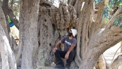 تعرف على أضخم و أقدم شجرة زيتون في العالم عمرها أكثر من 5000 سنة