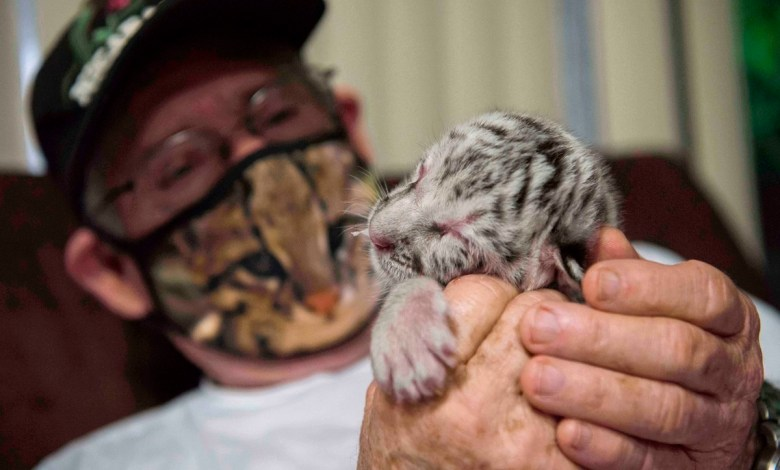شاهد ولادة نادرة لنمر بنغالي أبيض بحديقة الحيوان في نيكاراغوا