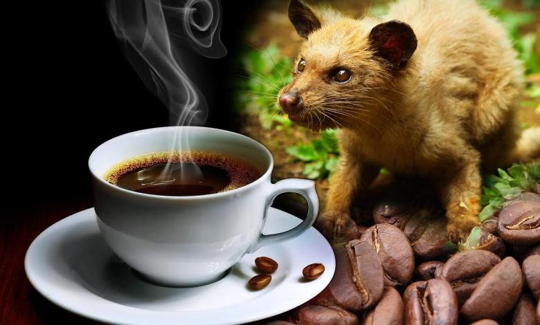شاهد مراحل صناعة قهوة مستخرجة من براز حيوان!