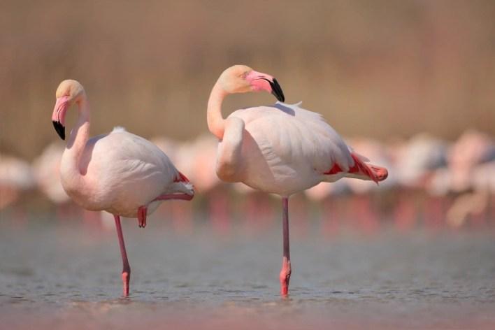 طائر الفلامنجو -ذكورا وإناثا- يصنع حليب الحوصلة أيضا، ويجتره في أفواه فراخه