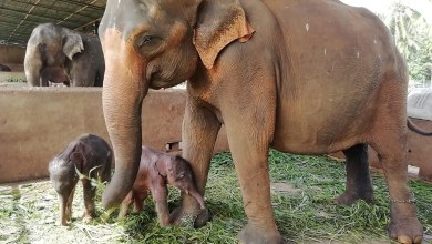 شاهد: في سريلانكا منذ 80 عاماً ..ولادة نادرة لفيلين توأمين