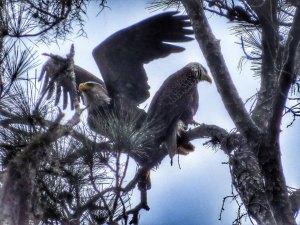 eagle_Wanda_4