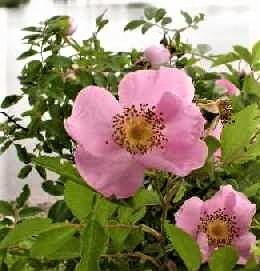 swamp-rose-4