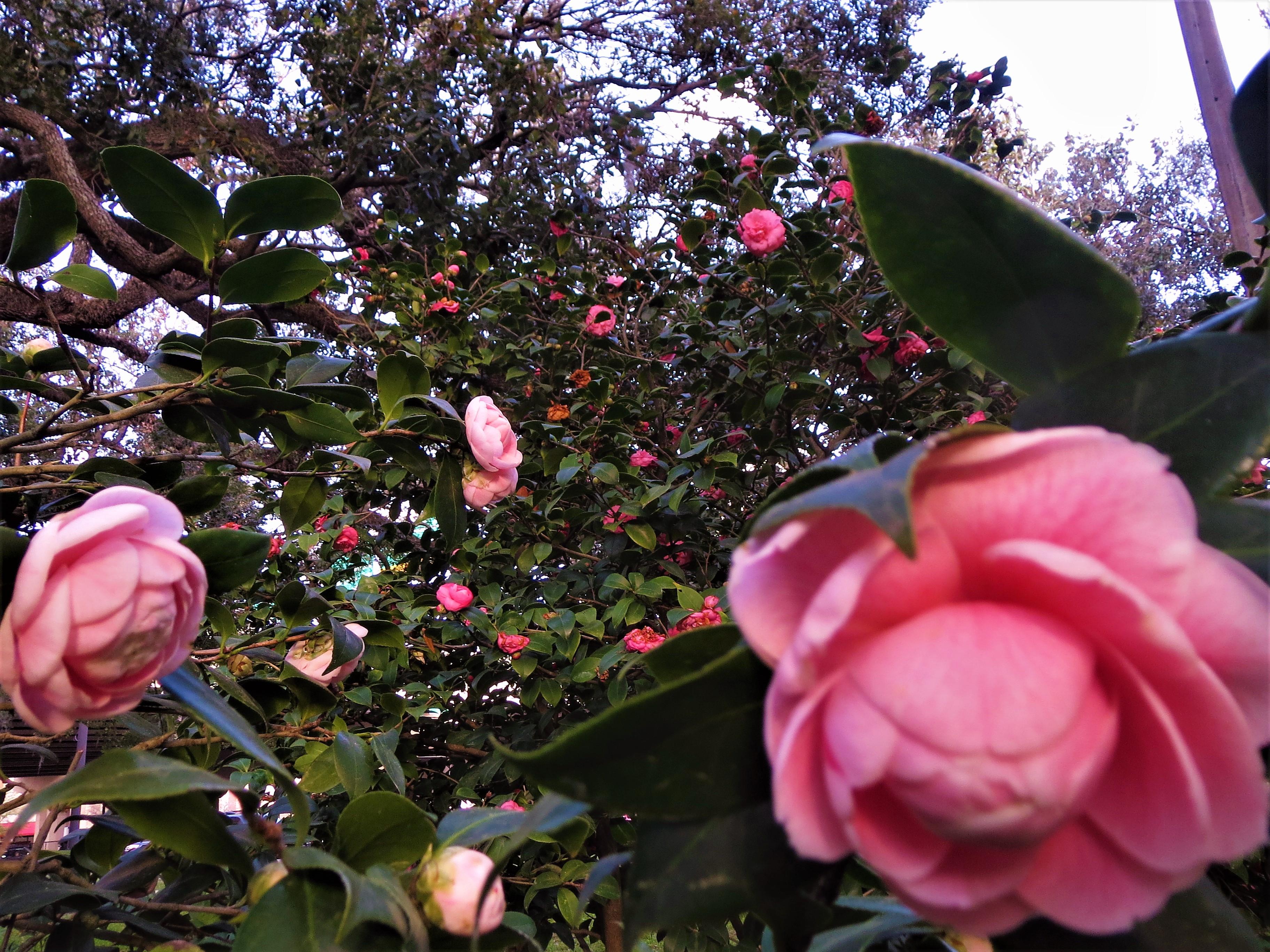 Riverside Park Camellia Garden