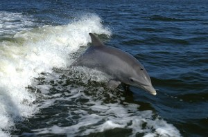 Bottlenose Dolphin Riding Waves