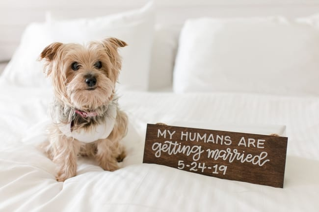 """The brides small dog, dressed in a white dress, on the white bed next to signage """"my humans are getting married"""" with the date of the wedding"""