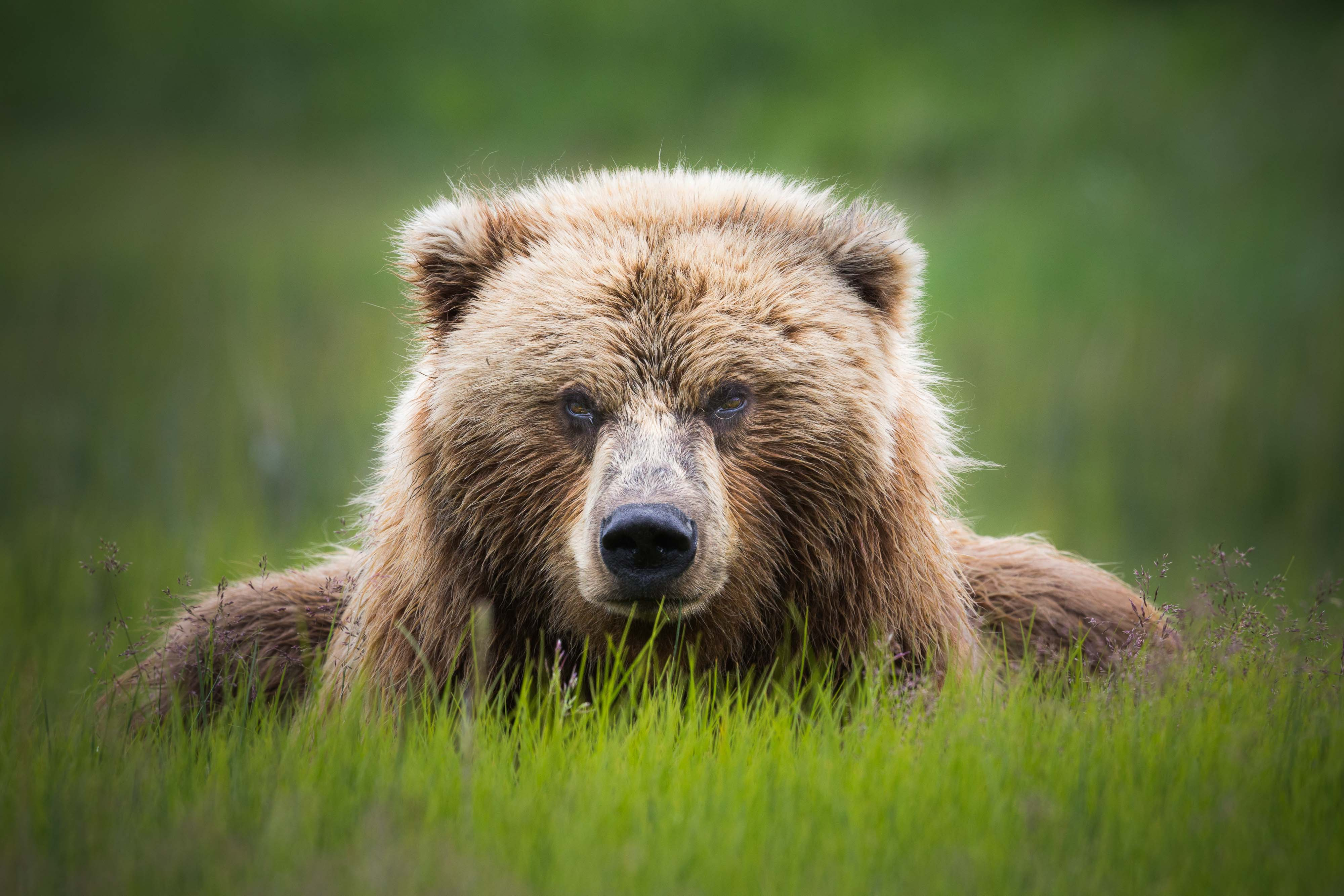 Grazing Brown Bear limited edition print by Jay Goodrich