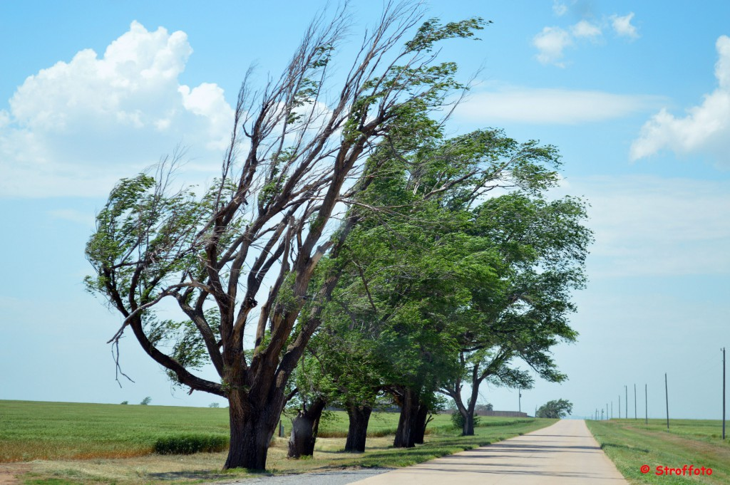 Leaning trees Route 66 in Oklahoma