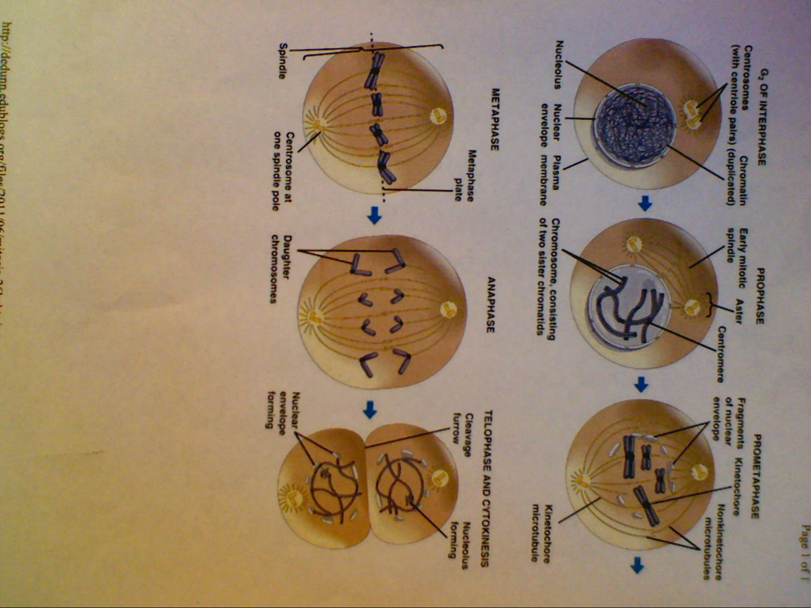 Chapter 8 Mitosis