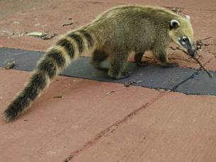 Coatis at Iguazu Falls