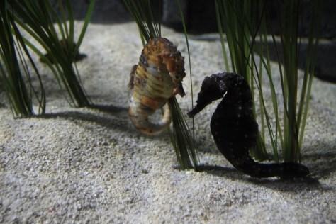 koniki morskie