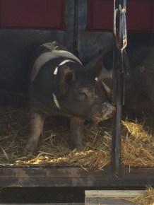 pigs to processor 2015