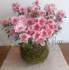 Kokedama Azalea Rhododendron