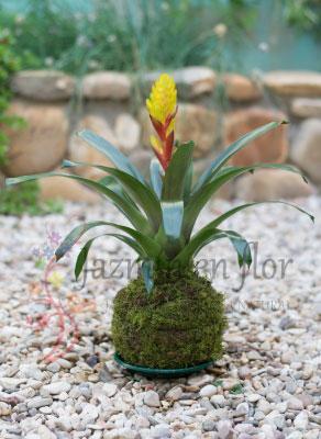 Bromelia - Vriesea