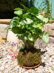 Kokedama Syngonium Podophyllum