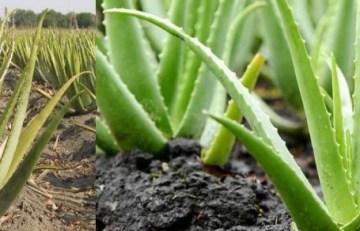 Aloe vera planta medicinal Jazmín en flor