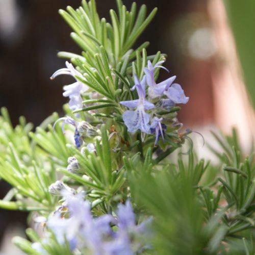 Como cuidar tus plantas aromáticas para cocinar Romero Flor