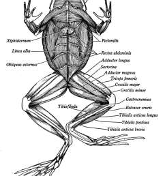 click here to view more diagrams of the frog muscle [ 1125 x 1500 Pixel ]