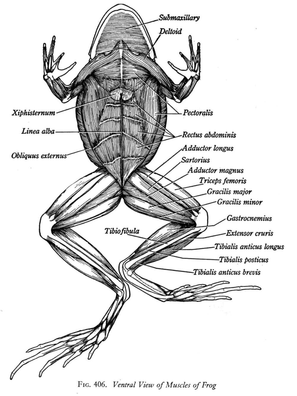 medium resolution of click here to view more diagrams of the frog muscle