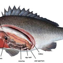 Fish Anatomy Diagram Blank 2003 Saturn L200 Rear Brakes Perch Dissection Labeled Mouth