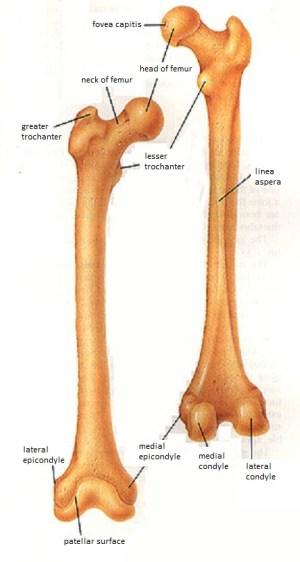 Skeletal System Diagrams