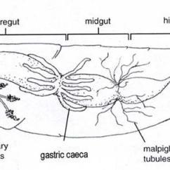 External Grasshopper Diagram Gfi Wiring Biology 2 Use The Below To Help You Locate Internal Organs Of